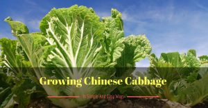 A Guide On Growing Chinese Cabbage In Simple And Easy Ways
