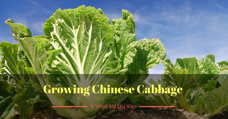 growing-chinese-cabbage