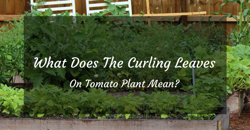 curling leaves on tomato plant