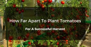 3 Ways How Far Apart To Plant Tomatoes For A Successful Harvest