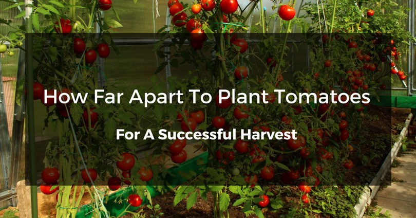 how-far-apart-to-plant-tomatoes