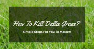 How To Kill Dallis Grass? Simple Steps For You To Master!