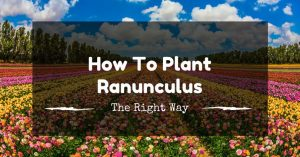 How To Plant Ranunculus The Right Way