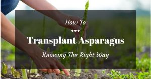 How To Transplant Asparagus: Knowing The Right Way
