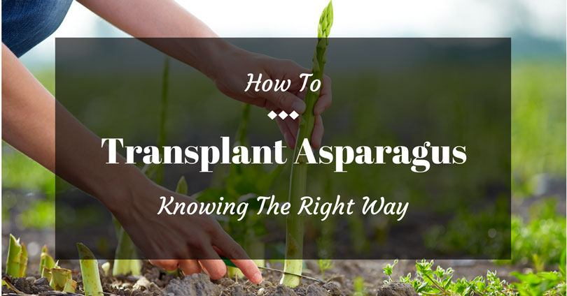 how to transplant asparagus