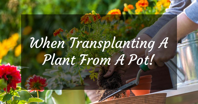 when transplanting a plant from a pot to the ground