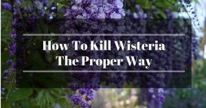 How To Kill Wisteria The Proper Way