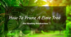 How To Prune A Lime Tree For Healthy Production
