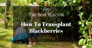 The Best Way On How To Transplant Blackberries