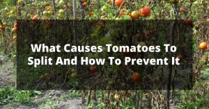 What Causes Tomatoes To Split And How To Prevent It