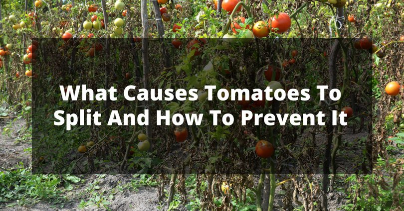 what causes tomatoes to split