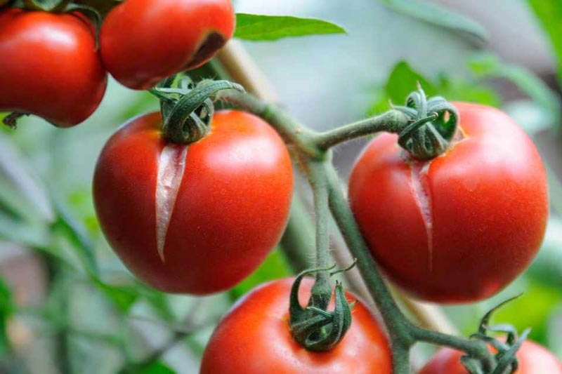 what-causes-tomatoes-to-split-2