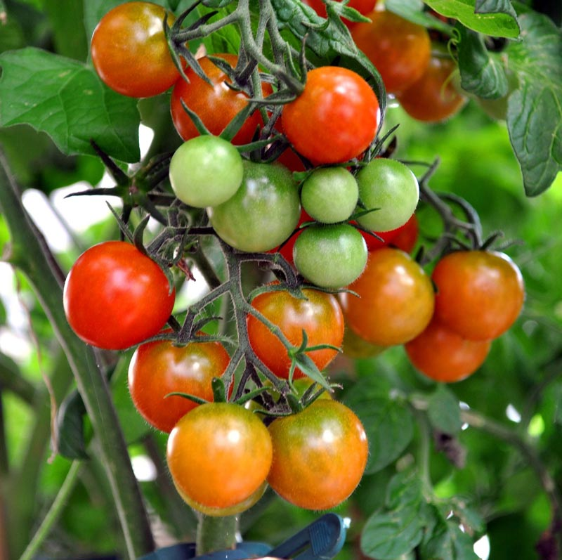 what causes tomatoes to split at the top