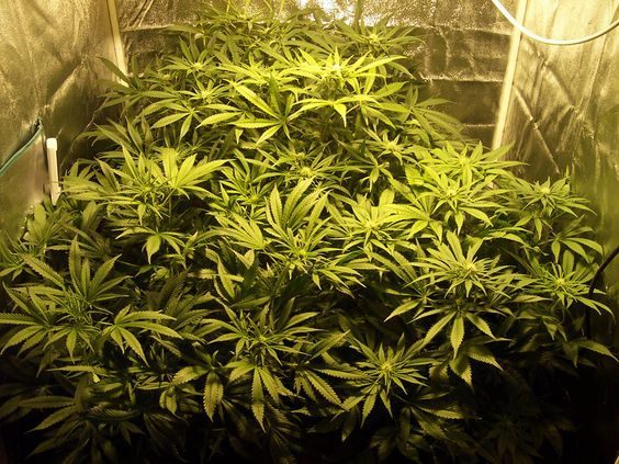 What Size Grow Tent For 2,4,6,9,12,20 Plants