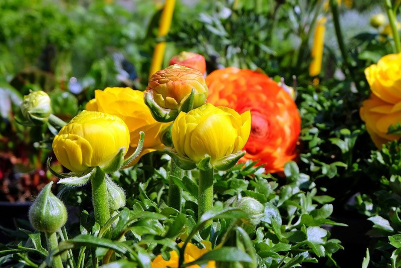 how to plant ranunculus corms