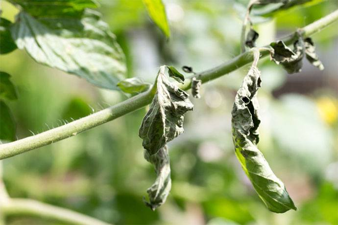 curling leaves on tomato plants