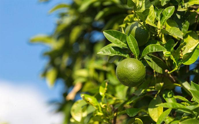 how to prune an indoor lime tree