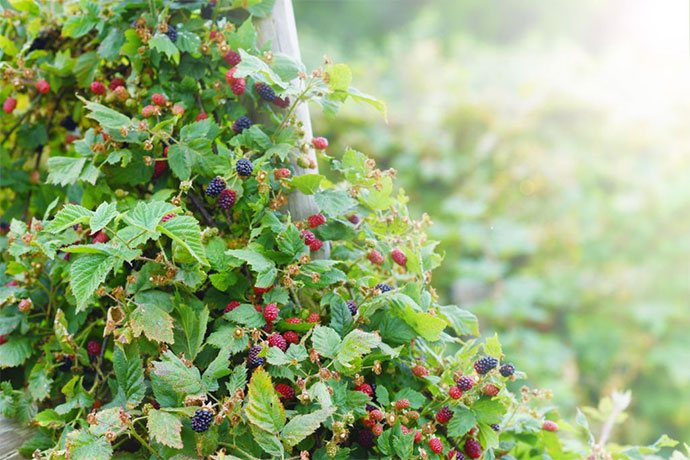 how to transplant blackberries bushes