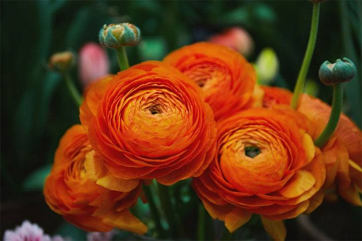 how to plant ranunculus seeds