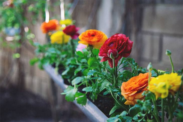 how to plant ranunculus in pots