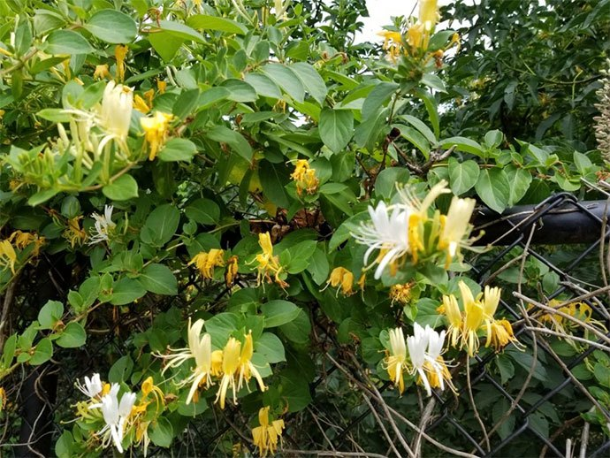 how to get rid of honeysuckle naturally