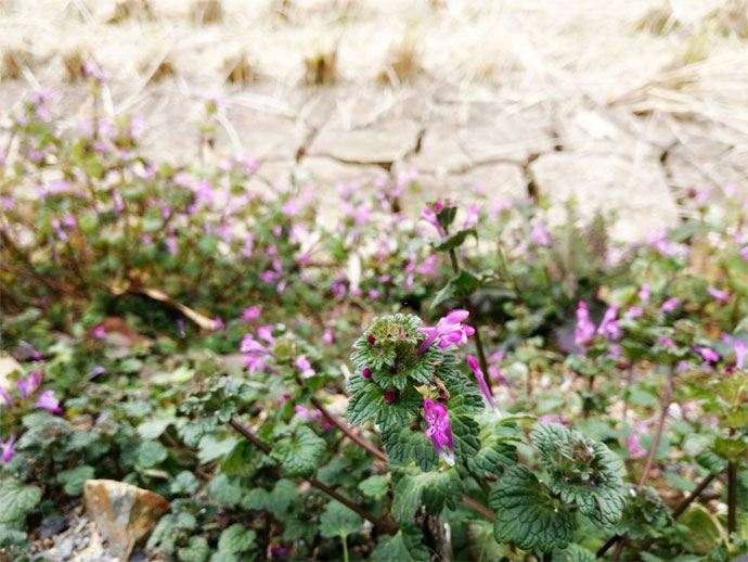 how to get rid of henbit in your yard